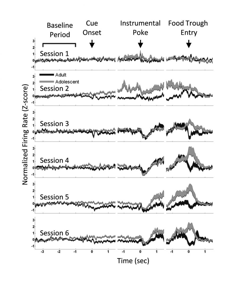 Adult and adolescent neural activity was similar at first. When a reward was expected (sessions 3-6), adolescent brain activity spiked, followed by a slow decrease after the sugar pellet was received (food trough entry). Adults experienced a similar rapid increase in activity followed by a quick return to baseline.