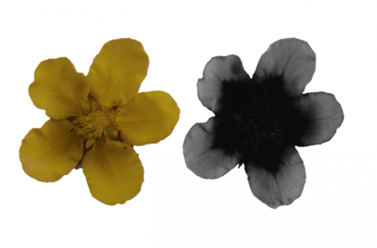 Many flowers that appear uniform in color to humans (left) have patterns in the ultraviolet spectrum (right) that are used by pollinators. Interestingly, these patterns can also protect pollen from damage caused by solar UV radiation.