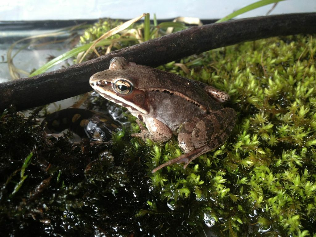 Wood frogs living close to agricultural land were more likely to have been exposed to pesticides for many generations compared to those living far from agriculture.
